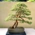 Pacific Rim Bonsai Collection
