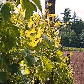 Bainbridge Island Vineyards and Winery Tour
