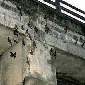 Congress Avenue Bats