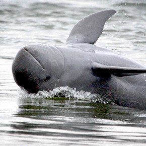 Irrawaddy River Dolphins